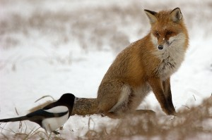 courage-fox-and-bird