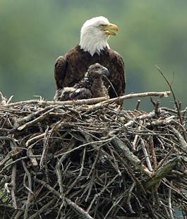 eagle_momandbaby